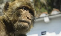 macaque-sakiet-sidi-youssef