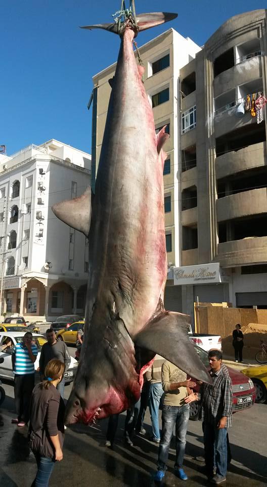requin 6