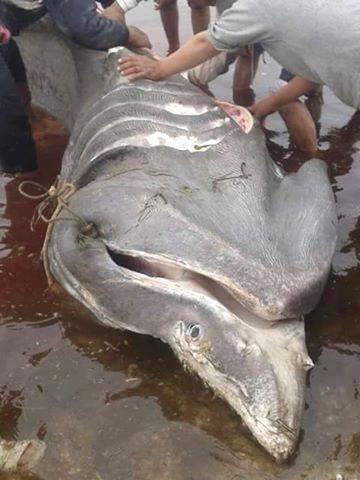 requin-djerba-ajim-2016-04