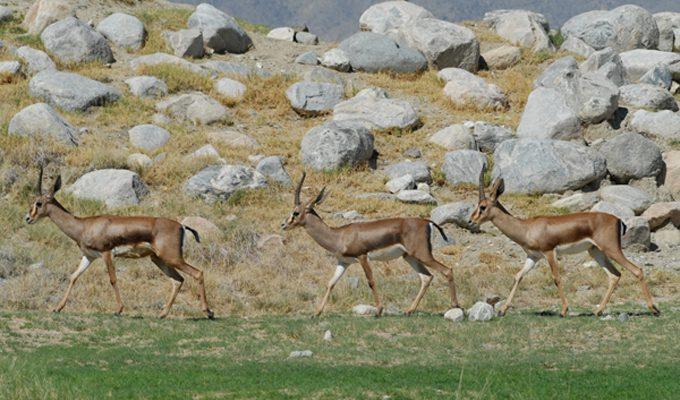 Tunisie ecologie 43 gazelles de cuvier r introduites for Habitat rural en algerie pdf